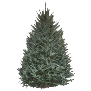 Real Fresh Cut Natural Fraser Fir 7-8 Foot Christmas Tree