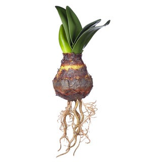 Sage & Co Sage & Co. Natural Amaryllis Bulb With Sprout (Pack of 12)