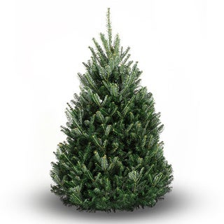 Real Fresh Cut Natural Balsam Fir 7-8 Foot Christmas Tree