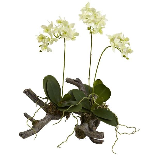 Mini Phalaenopsis on Elegant Root Base