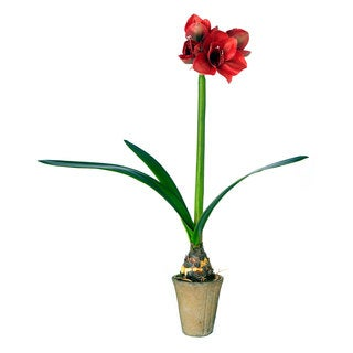 Sage & Co 5-inch x 31-inch Single Red Amaryllis Bulb Potted