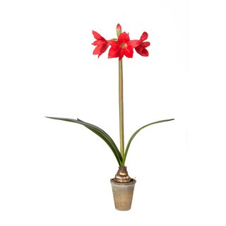 Sage & Co 5-inch x 35-inch Red Trumpet Amaryllis Bulb Potted