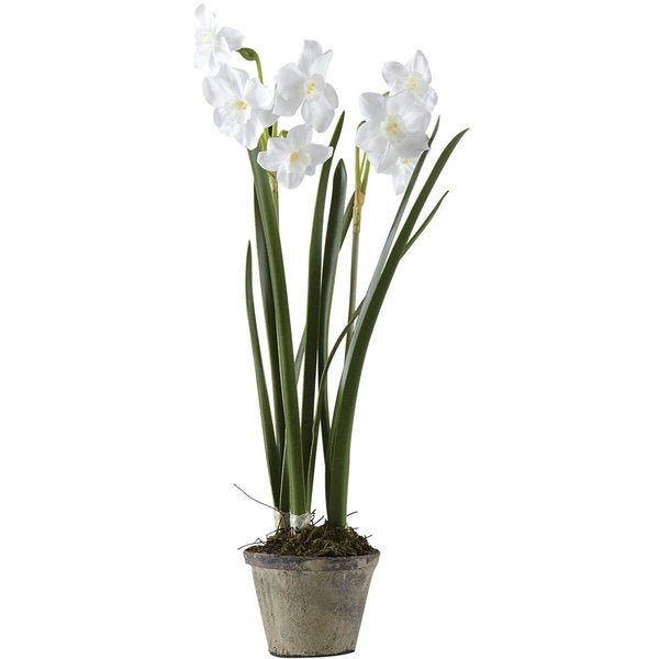 Sage & Co 15-inch Potted Paper Whites In 3-inch Pot (Pack of 6)