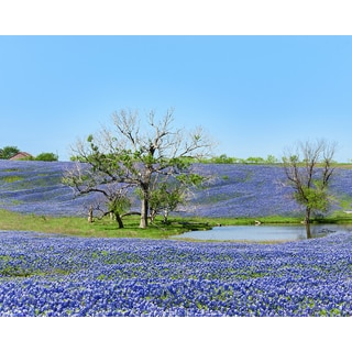 Stewart Parr 'Blue Bonnets of Ennis Texas with a pond' Unframed Photo Print