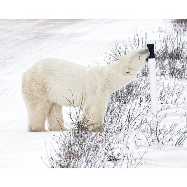 Stewart Parr 'Polar Bears from Churchill, Canada licking a road marker' Unframed Photo Print