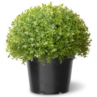 13-inch Globe Japanese Holly with Green Pot