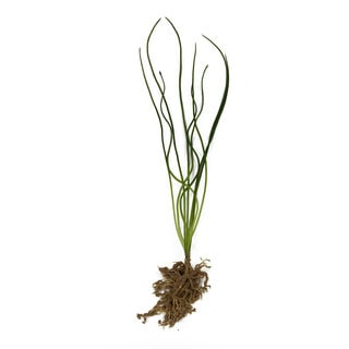 15-inch Corkscrew Grass with Roots (Pack of 12)
