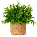 Small Myrtle Potted in Burlap Pot (Set of 12)