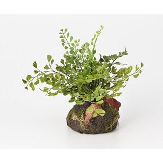 6-inch Maidenhair Fern Plant Drop In Garden (Pack of 6)