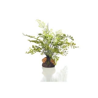 11-inch Maidenhair Fern Plant Drop In Garden (Pack of 6)