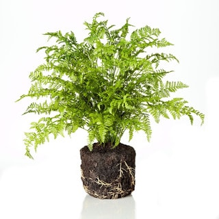 19-inch Rabbit Foot Fern (Packed 1 Each)