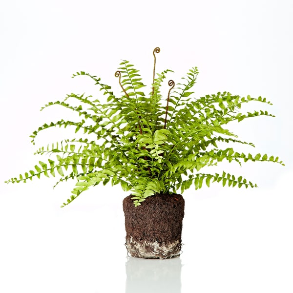 19-inch Boston Fern (Packed 1 Each)