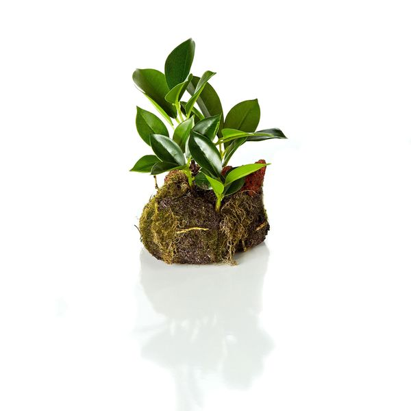 5-inch Bonsai Cloche Drop In (Pack of 12)