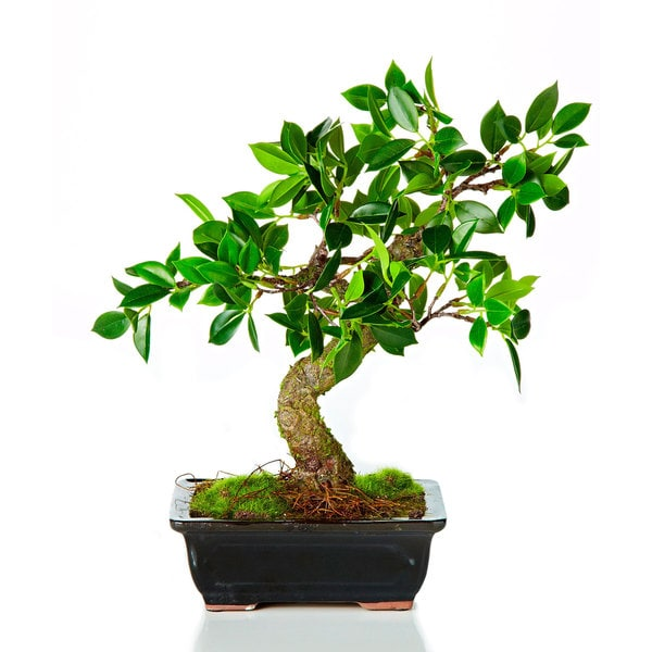12-inch Bonsai Potted (Packed 1 Each)