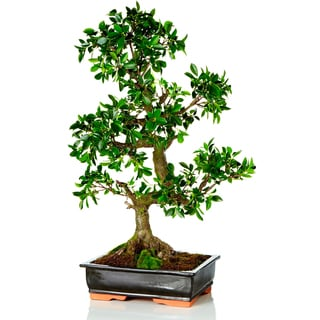 35-inch Bonsai Potted (Packed 1 Each)