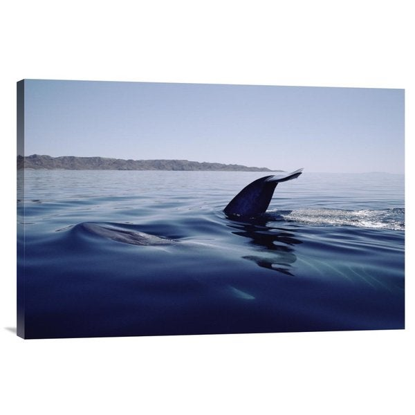 Flip Nicklin 'Blue Whale tail, Sea of Cortez, Mexico' Stretched Canvas