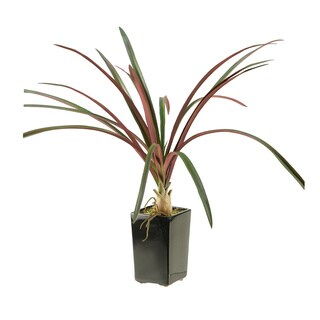 D&W Silks Burgundy / Green Areca Grass in Square Ceramic Planter