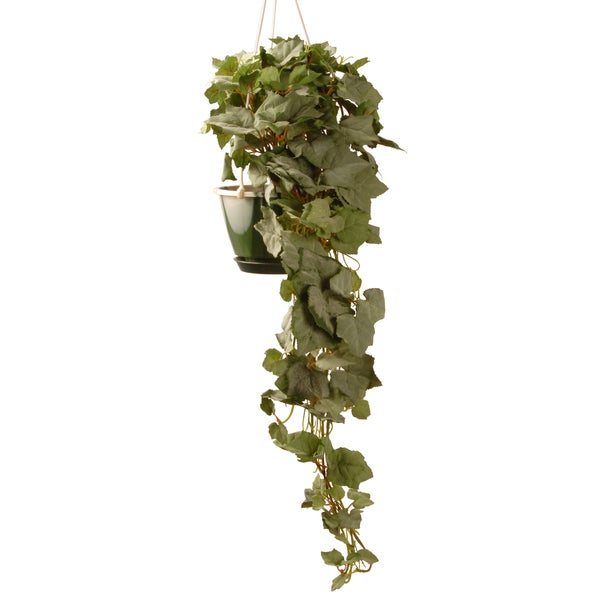 Hanging Grape Green 25-inch Plant