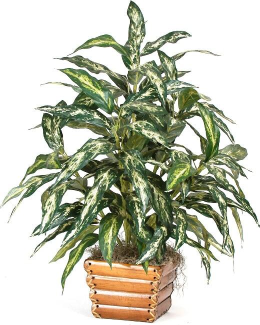 Chinese Evergreen Silk Plant