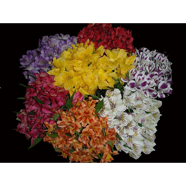 Fresh 40 Assorted Alstromerias Flowers