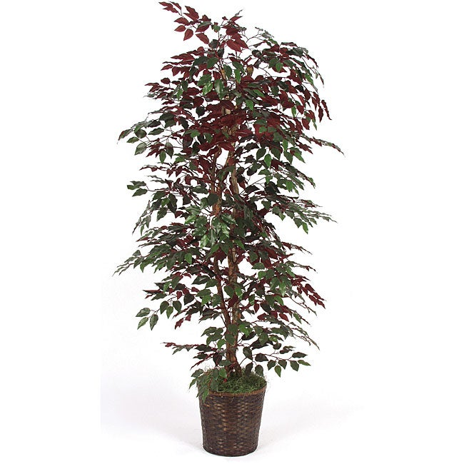 6.5-foot Capensia Bush