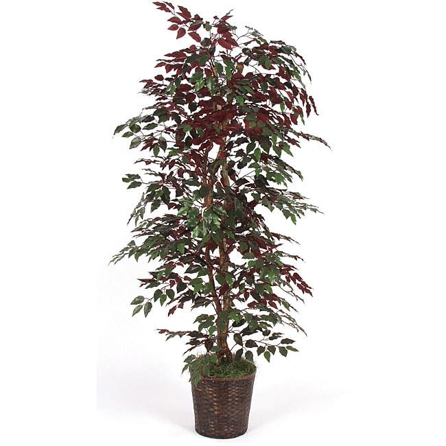 6.5-foot Capensia Bush