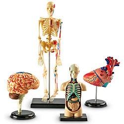 Anatomy Models Bundle Set