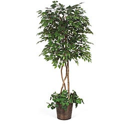 Under-planted 6.5-foot Green Ficus Tree