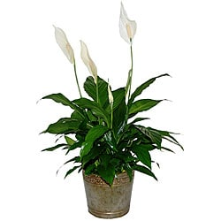 Live Spathiphyllum Peace Lilly Plant Inside Metal-tin Container