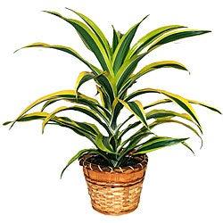Dracaena Warneckii Lemon Lime Plant