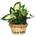 Four Fresh Green Potted Plants in Natural Woven Straw Gift Basket