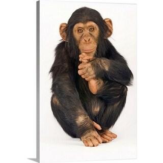 """Chimpanzee (Pan troglodytes). Young playfull chimp."" Canvas Wall Art"