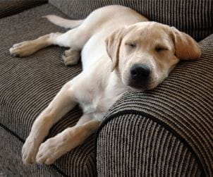 Cute dog sleeping on a sofa instead of in a dog kennel