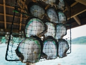 A net full of beautiful green, white and blue pearl oysters