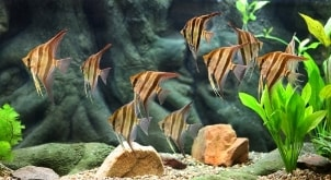 Angel fish swimming in a salt water aquarium