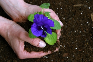 Planting a purple flower in a garden