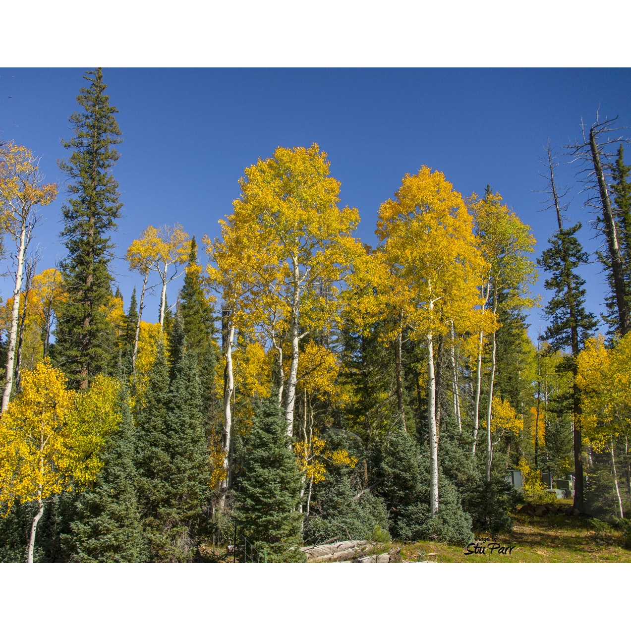 Shop Stewart Parr \'Grand Canyon Evergreen and Aspen Trees ...