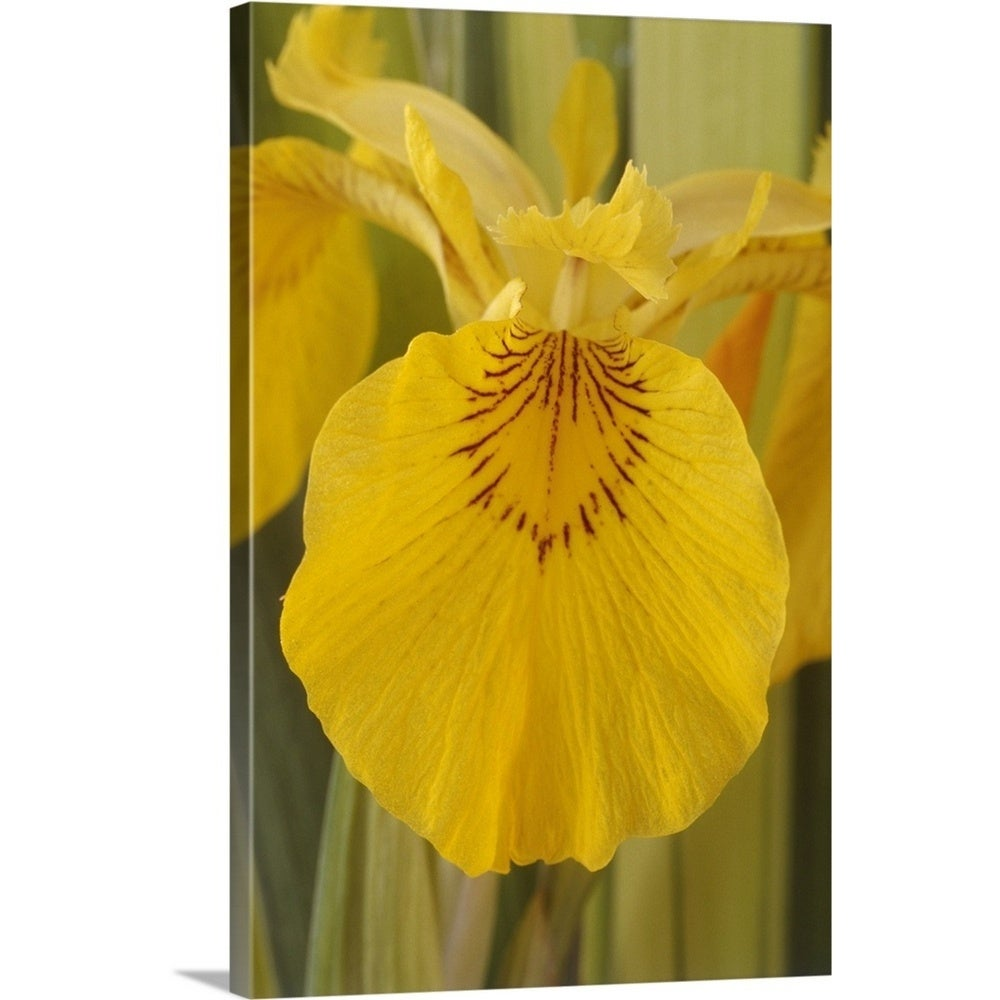 Shop premium thick wrap canvas entitled yellow flag iris flower shop premium thick wrap canvas entitled yellow flag iris flower multi color on sale free shipping today overstock 16481182 izmirmasajfo