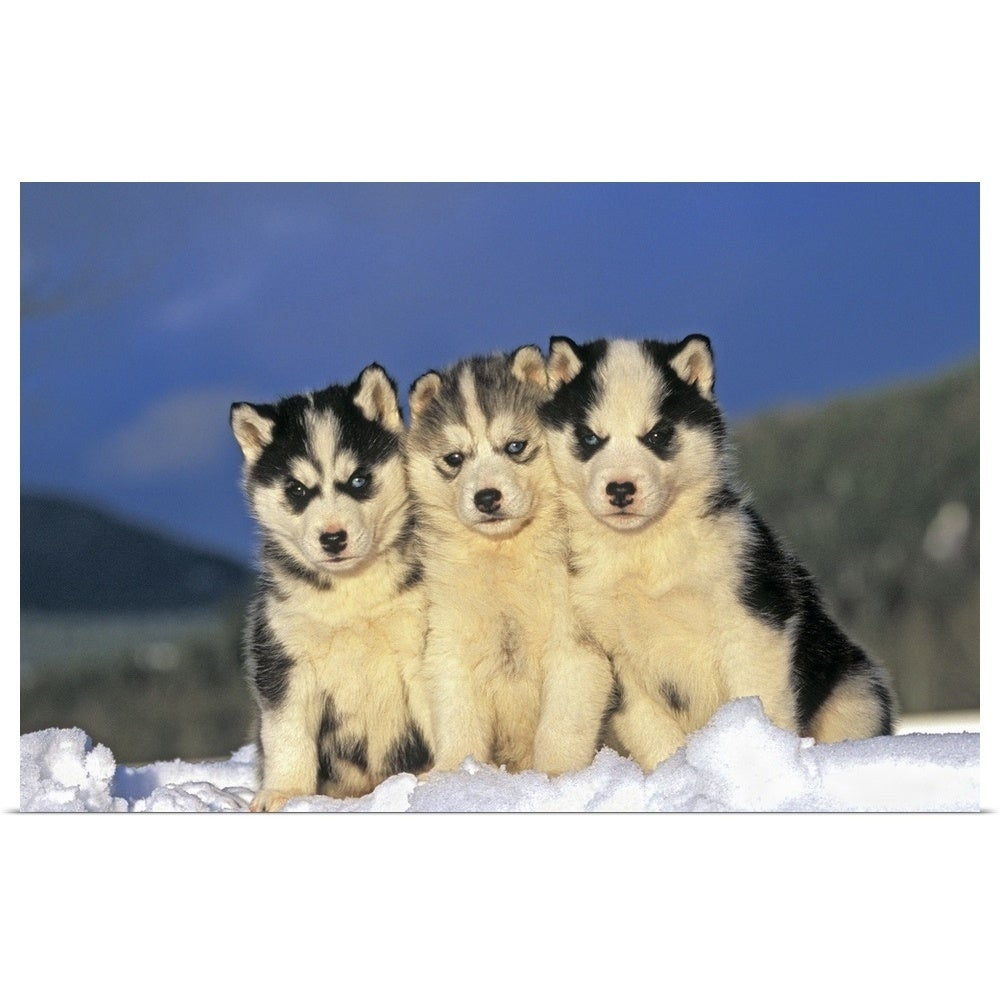 Shop Poster Print Entitled Three Siberian Husky Puppies Sitting In