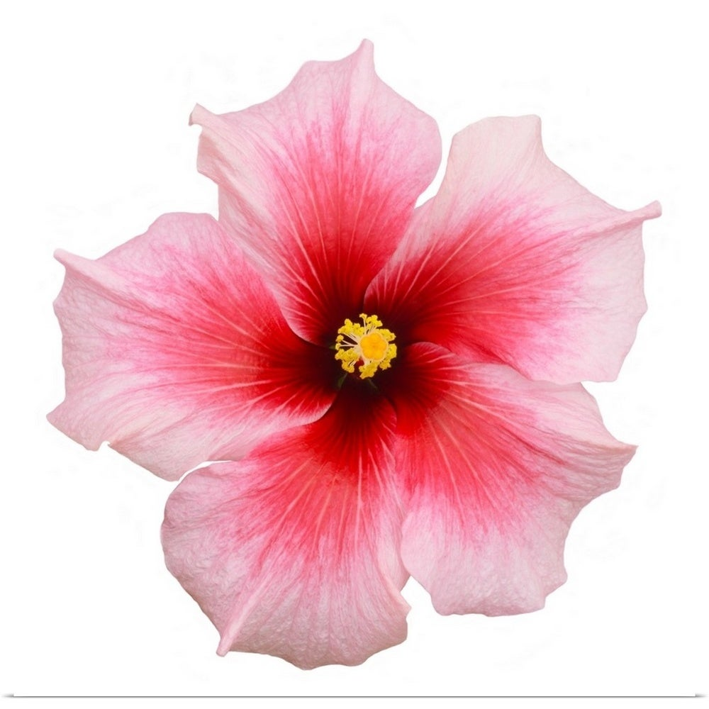 Shop Pink Hibiscus Flower Multi Color Free Shipping On Orders