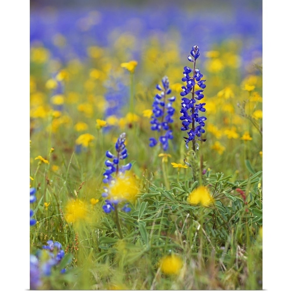 Shop poster print entitled texas bluebonnet flowers in bloom among shop poster print entitled texas bluebonnet flowers in bloom among yellow wildflowers selective focus texas multi color free shipping on orders over mightylinksfo