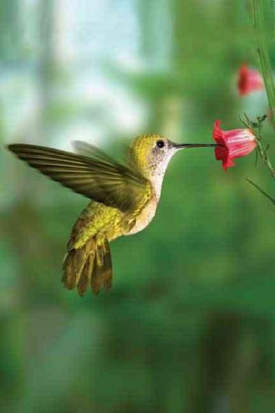 Hummingbird (Notebook / blank book)