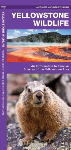 Yellowstone Wildlife: An Introduction to Familiar Species of Yellowstone Area (Paperback)