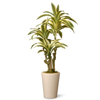 21-inch Dracaena Plant in Ceramic Green Pot