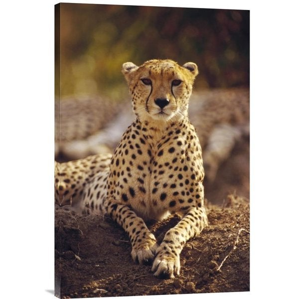 Shop Global Gallery Gerry Ellis 'Cheetah Portrait, Masai