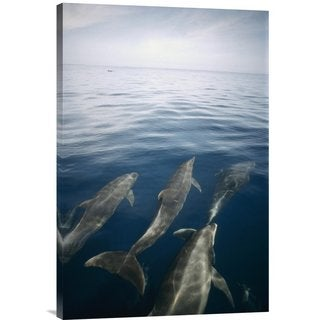 Global Gallery Tui De Roy 'Bottlenose Dolphin pod surfacing, Isabella Island, Galapagos Islands, Ecu