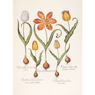 Tulips V, Basilius Besler
