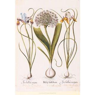 Iris & Lily II, Basilius Besler