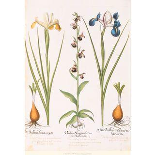 Iris & Orchis, Basilius Besler