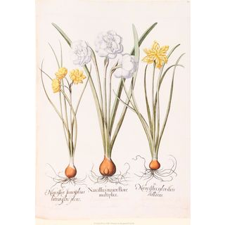 Daffodil Botanical II, Basilius Besler